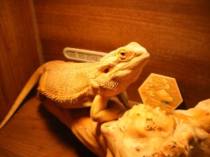 Even this bearded dragon has played the game too much